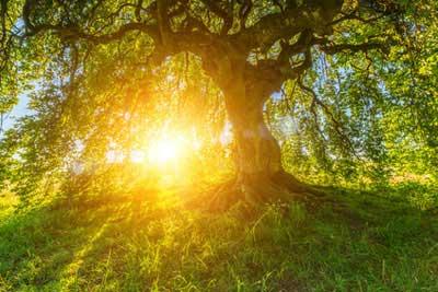 Buche - Das keltische Baumhoroskop