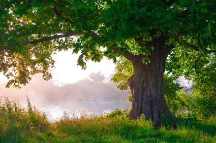 Eiche - Das keltische Baumhoroskop