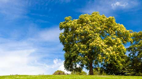Esche - Das keltische Baumhoroskop