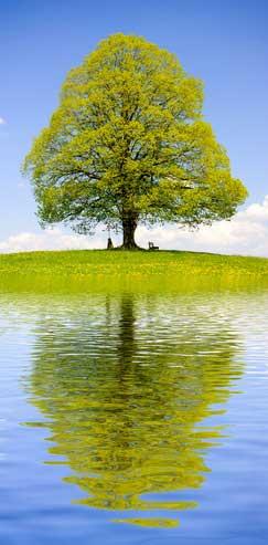 Linde - Das keltische Baumhoroskop