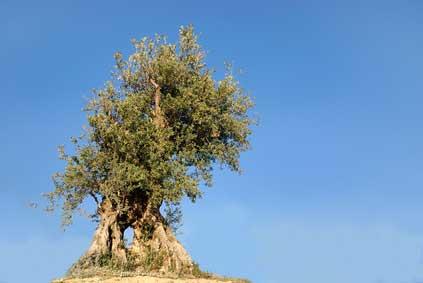 Ölbaum - Das keltische Baumhoroskop