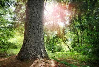 Tanne - Das keltische Baumhoroskop