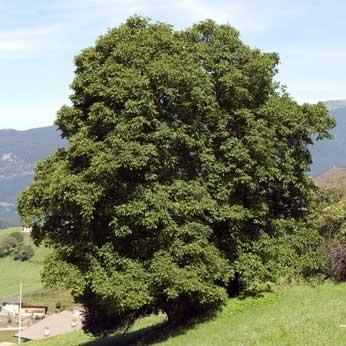 Walnuss - Das keltische Baumhoroskop