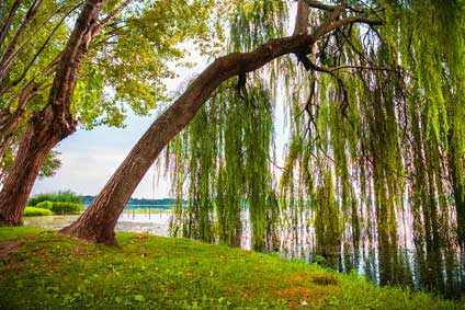 Weide - Das keltische Baumhoroskop