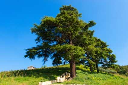 Zeder - Das keltische Baumhoroskop